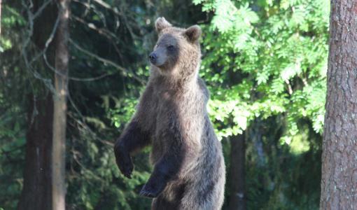 Karhunmetsästys alkaa