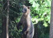 Björnjakten startar