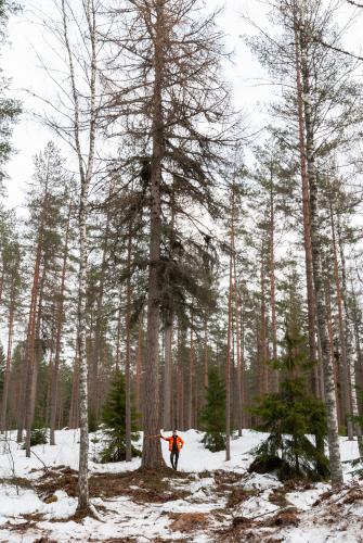 kuvassa-lehtikuusi-ja-metsapaallikko-robert-lindholm-copyright-elisabeth-blomqvist.jpg