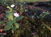 Luonnonkukkien päivä 17.6 vie luonnonystävät suomalaiseen metsään