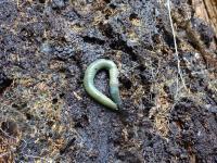 aporrectodea-smaragdina-kuva-michael-steinwandter.jpg