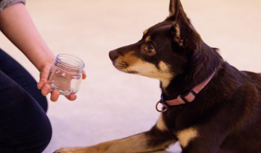 Koiran uskomaton hajuaisti perustuu lukuisiin eri hajuja vastaanottaviin reseptoreihin