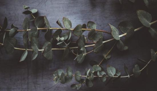 web_eukalyptus.jpg