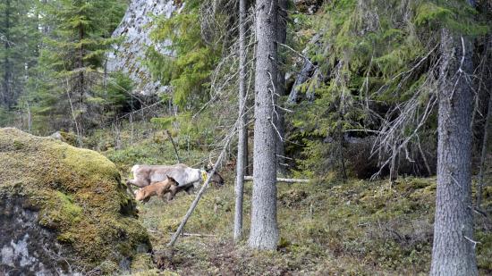 kuva-1_seitsemisen-ensimmainen-villi-metsapeuranvasa_kuvaaja-lea-uimonen_metsahallitus.jpg