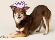 Osaako koirasi nämä hauskat temput? Näin opetat ne helposti
