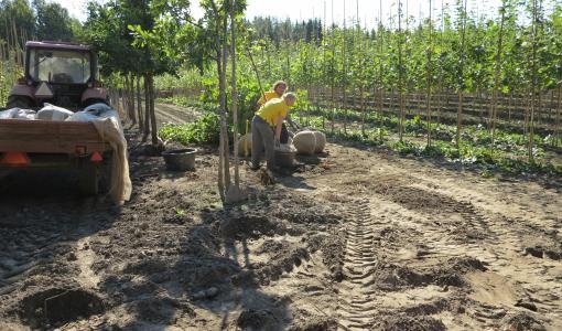 Vakava taimipula viivästyttää viherurakoiden valmistumista
