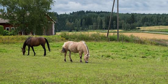 hevosia-laitumella.jpg