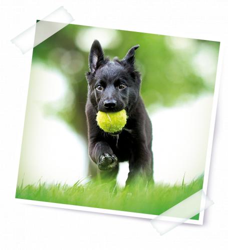 brit-koira-ja-pallo.png