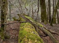 makaava-puu-kovalainen.jpg