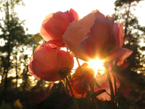 ruusut.jpg