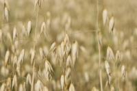 kaurapohjaiset-tuotteet-ovat-luomuviennin-suurin-tuoteryhma.-kuva-pro-luomu-anniina-kivilahti.jpg