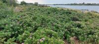 kurtturuusu-valtaa-elinympariston-muilta-rantakasveilta..jpg