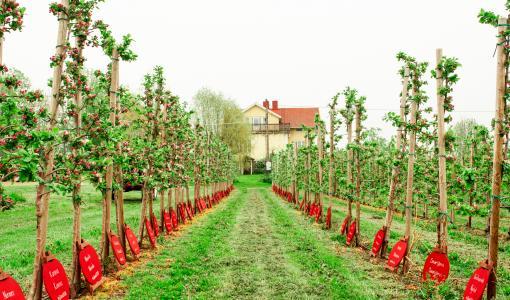 Varje stad i Finland har nu ett eget äppelträd på Åland