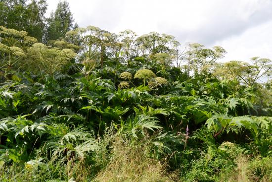 hogweed-plant-population_kuva-miia-korhonen-luontoturva-ky.jpg