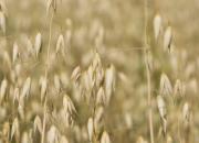 Luomuvilja kasvatetaan vankalla ammattitaidolla