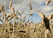 Luomupellot kestävät kuivuutta keskimääräistä paremmin