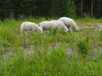 lampaat-joutteen-niitty.jpg