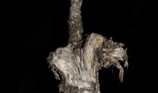Esko Männikön näyttelyssä on esillä uupuneita puita