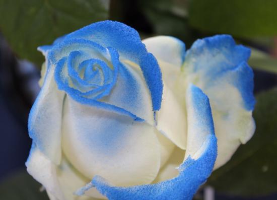 kukka_sininen.jpg