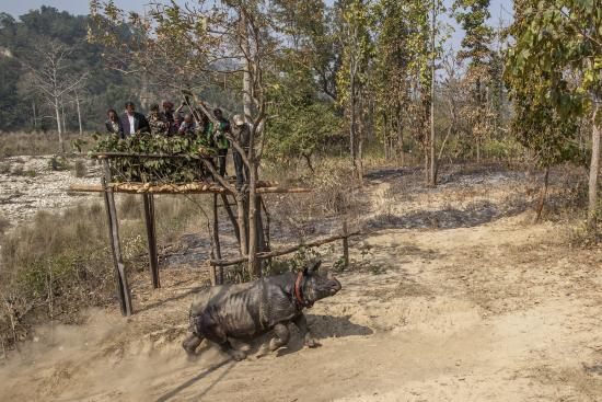 c-samir-jung-thapawwf-nepal-hariyo-ban-program_vapautettu-sarvikuono-lahtee-tutustumaan-uuteen-kotiseutuunsa-satelliittipanta-kaulassaan.jpg