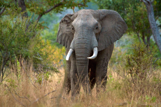 c-garyrobertsphotography-alamy-stock-photo-afrikannorsu-uros-loxodonta-africana-selous-riistansuojelualu-tansania.jpg