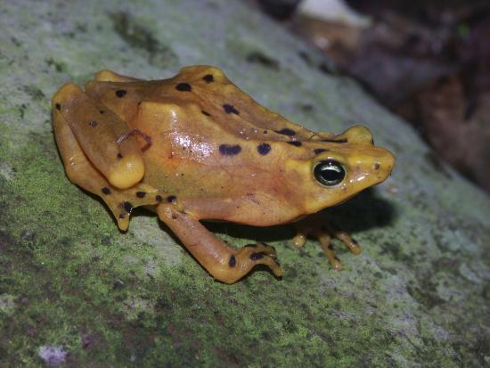 panamanian-golden-frog_atelopus-zeteki_copyright_carlos-drews_wwf.jpg