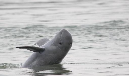 """Äärimmäisen uhanalaisen jokidelfiinin kanta vihdoin kasvussa: """"Nyt toivoa pelastaa delfiinit sukupuutolta"""""""