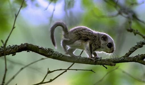Liito-oravan poikaset tekivät ensiesiintymisensä WWF:n Luontolivessä