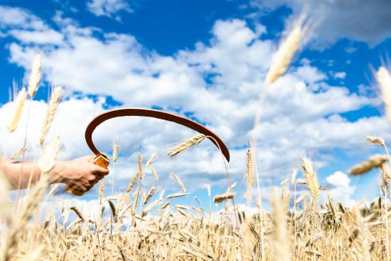 sicle-in-a-grain-field.jpg