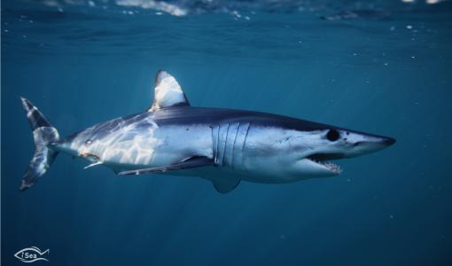 Välimeren hait ovat maailman hailajeista eniten vaarassa