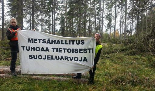 Metsähallitus jatkaa liito-oravan elinpiirin hävittämistä Suomussalmella – luonnonsuojelijat keskeyttivät hakkuut