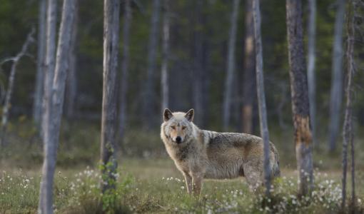 Luonto-Liitto: Norjan susijahti vaarantaa Skandinavian susikannan elinvoimaisuuden