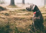 Telia ja Ultracom tuovat markkinoille helppokäyttöisen ja täsmällisen koirien paikannuspannan