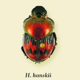 helictopleurus_hanskii.jpg