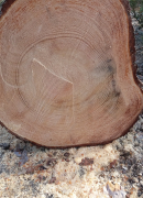 Temmeksen puunveistokurssilla veistetään Temmeksen satavuotiasta mäntyä
