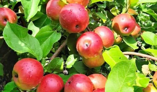 Odotus palkitaan - Alkava syksy tuo kotimaiset omenat kauppoihin