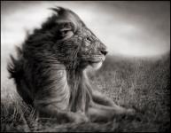 3.-lion-before-storm-ii-sitting-profile-9inw_web.jpg